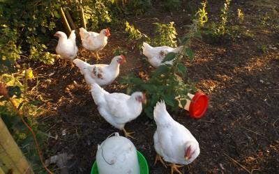 Chicken day