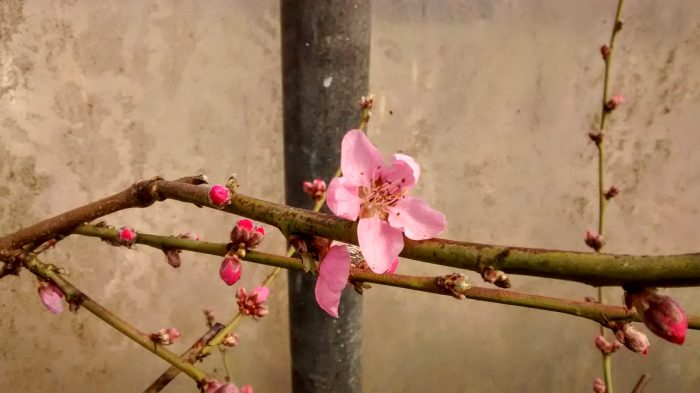 Peach blossom in the polytunnel